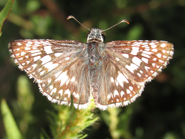 Common checkered skipper (Burnsius communis)