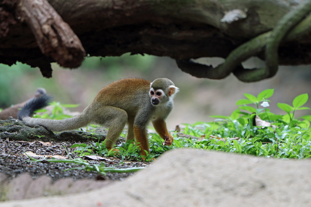 119. Common Squirrel Monkey (Saimiri sciureus), Zoo, Singapore