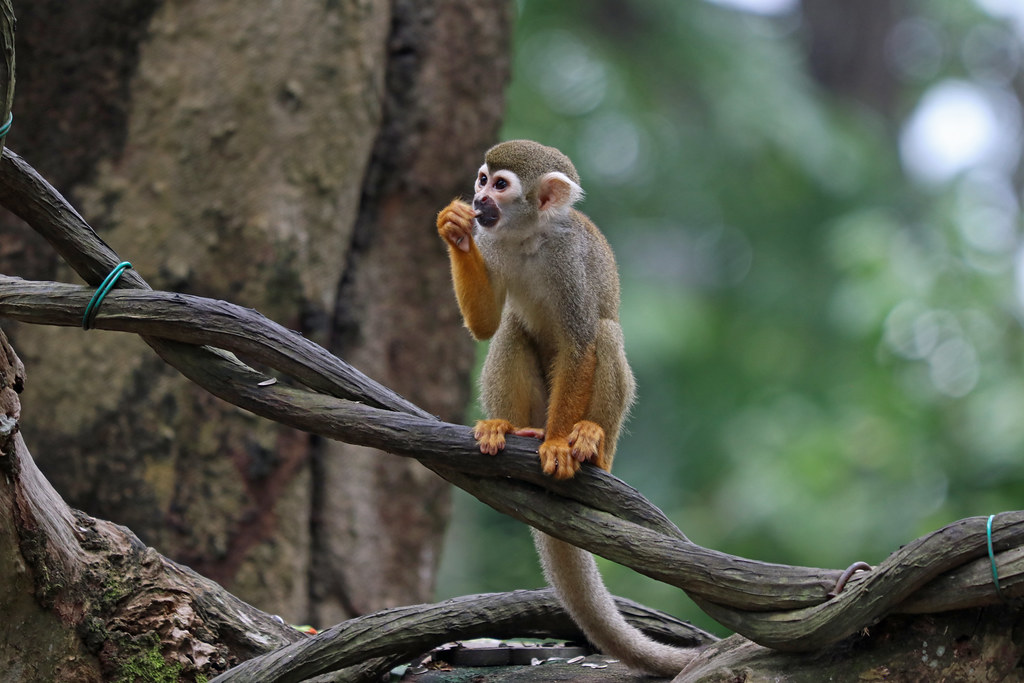 120. Common Squirrel Monkey (Saimiri sciureus), Zoo, Singapore
