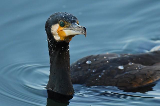 Grand cormoran - Phalacrocorax carbo - Great cormorant