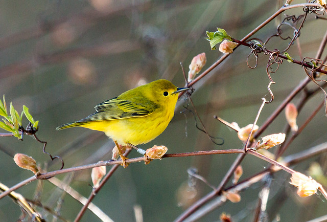 IMG_1473  female Yellow Warbler, Canada