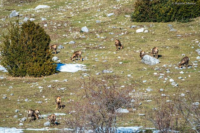 DSC0875 Sarrios (Rupicapra rupicapra) en los Llanos de Lalarri, Valle de Pineta, Pirineo aragonés