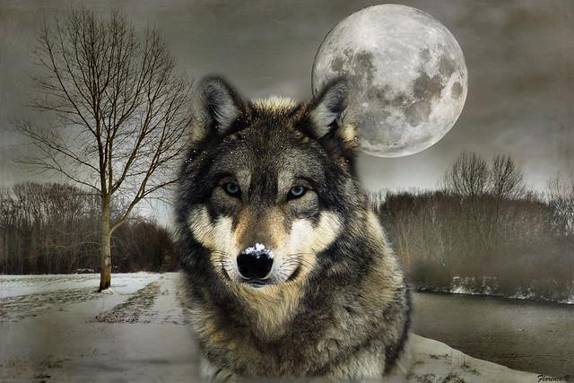 Janvier, la lune du Loup.
