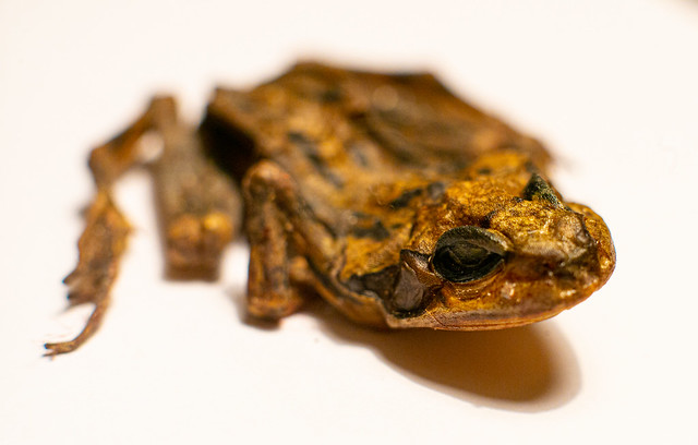 macro frog
