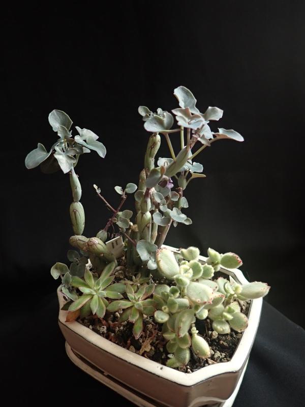 Les succulentes chez Cloo en 2020 49380324182_b9738f8497_o