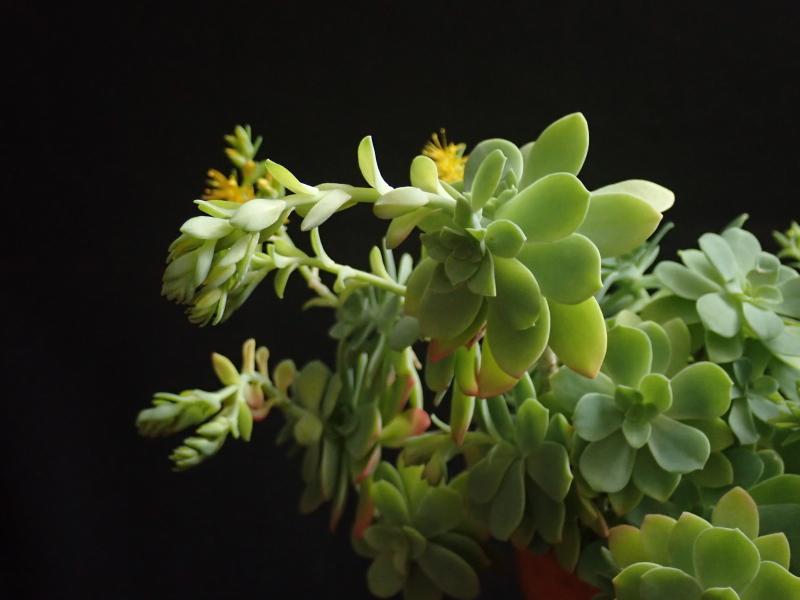 Les succulentes chez Cloo en 2020 49380324792_1713df071a_o
