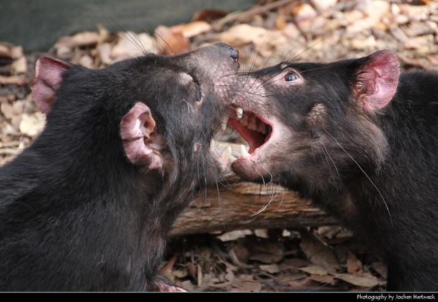 Tasmanian Devils fighting, Australia
