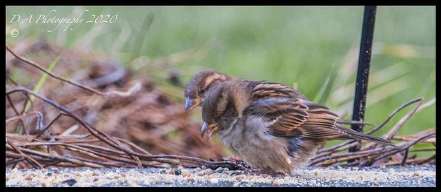 Two Sparrows DSC_4667