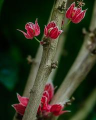 Goethea cauliflora, habitus (study)