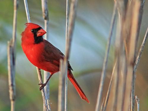 Northern Cardinal 04-20200112