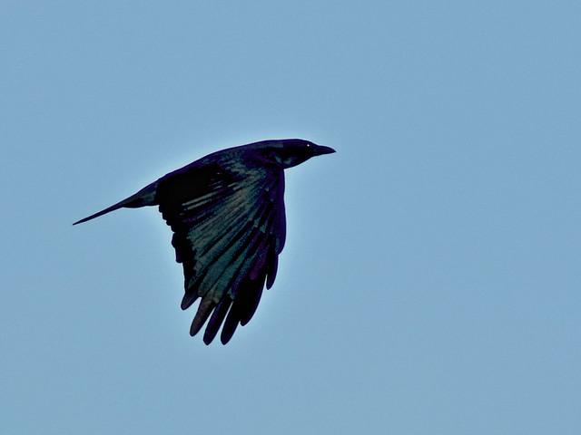 Fish Crow 02-20200113