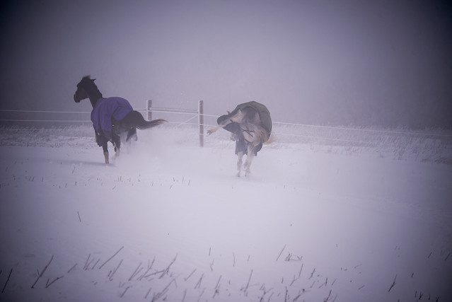 202001095 Horses and Dogs in Snow_124