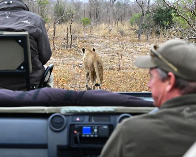Siguiendo a una leona durante un safari por África