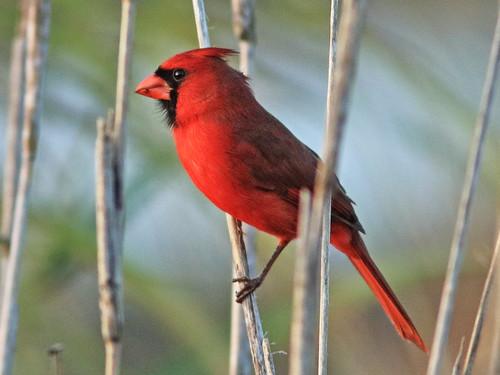 Northern Cardinal 02-20200112