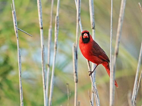 Northern Cardinal 05-20200112