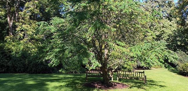 Katsura Tree ( Cercidiphyllum Japonicum )