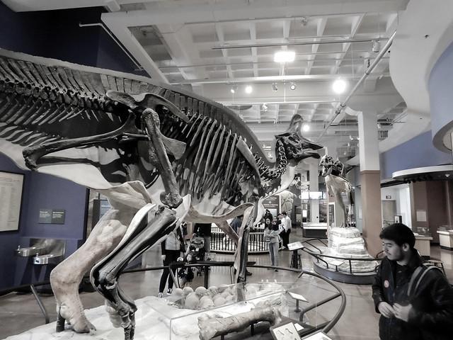 Hadrosaur at theNAT