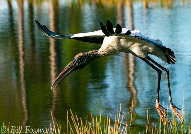 SONY-A9,    Wood Stork    09744 ,January 02, 2020