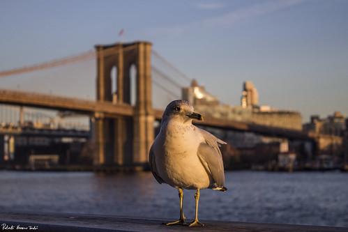 Gull in a principal role. Brooklyn Bridge, secondary role