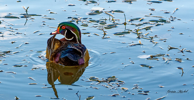 Canard branchu - Wood Duck - Aix sponsa