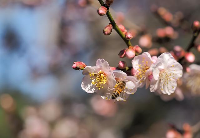 Plum Blossom Visitor