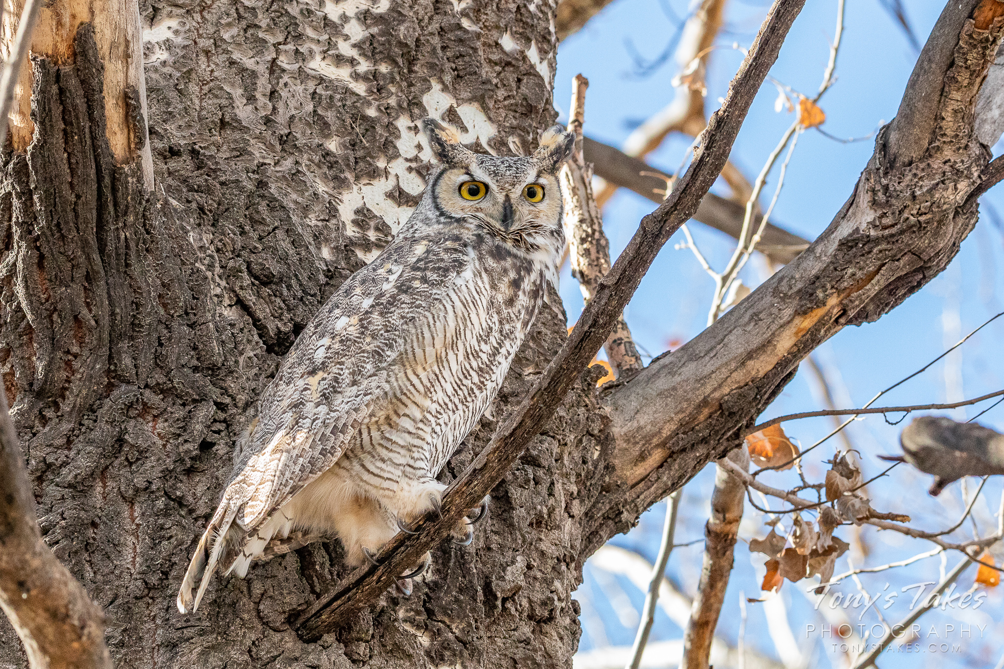 Great horned owl stays on alert to intruders