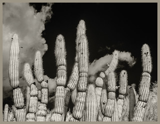 Desert Museum #1 IR 2020; Columnar Cacti