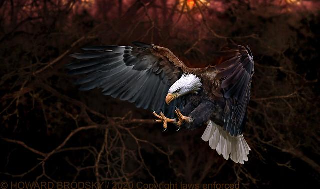 Bald Eagle Set up shoot at the CRC.......thanks James