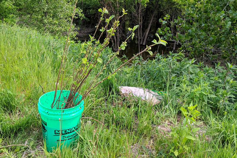 Saplings in a bucket.