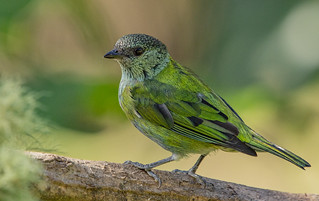 ♀️ Tangara heinei (Black-capped Tanager / Tangara capirotada) | by PriscillaBurcher