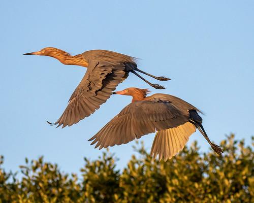 outdoor dennis adair sky nature wildlife 7dm2 7d ii ef100400mm ocean canon florida bird flight bif reddish