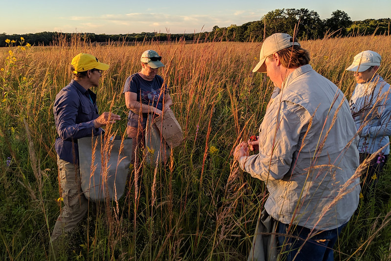 Four people collecting seeds in a tallgrass prairie at sundown.