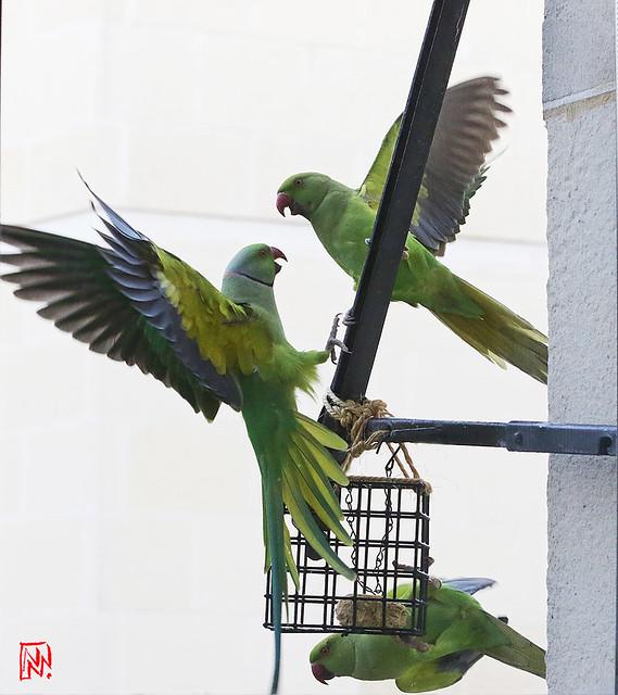 Jusqu'à quatre perruches se volent dans les plumes....