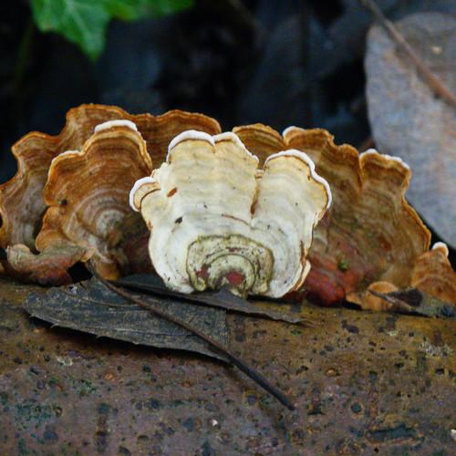 Small bracket fungi with wavy edge
