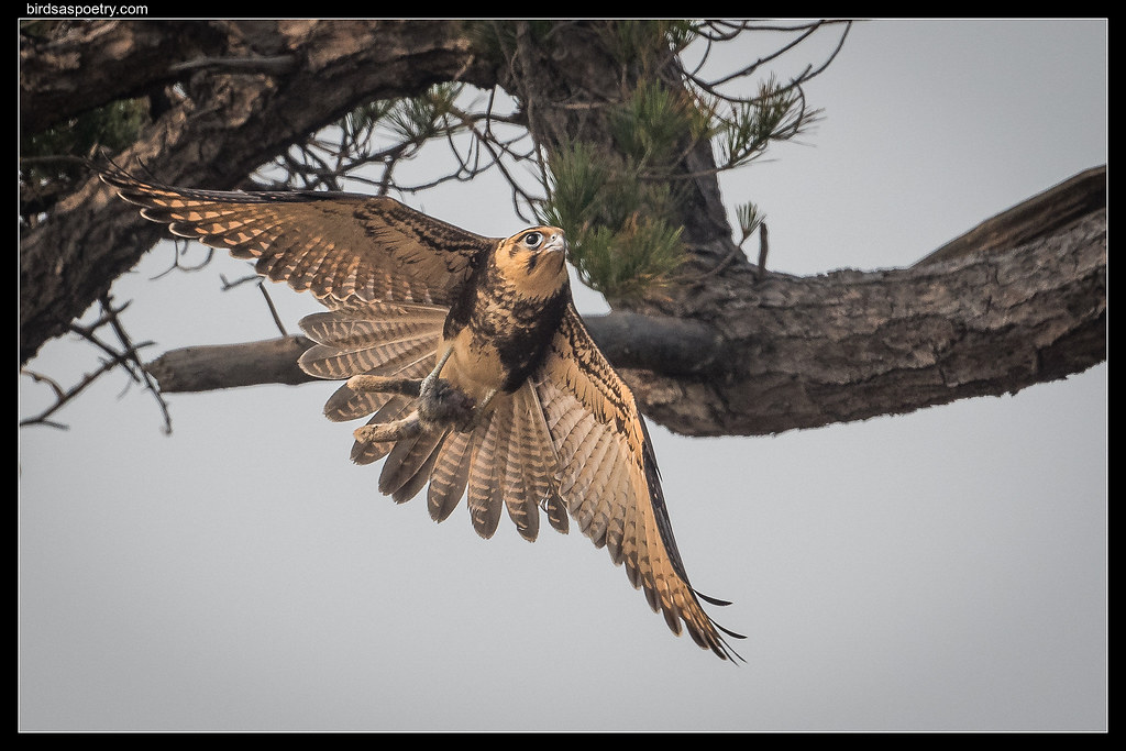 Brown Falcon: Juvenile with Rabbit Lunch