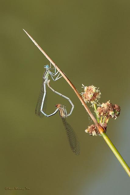 Platycnemis latipes (Rambur 1842)