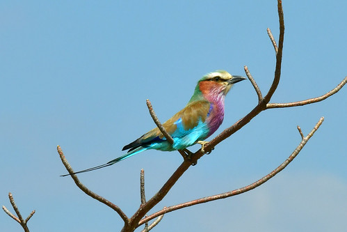 Racket-tailed roller - Coracias spatulatus | by supersky77