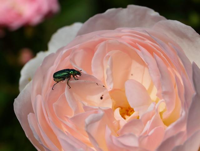 Green Scarab Beetle Diphucephala colaspidoides