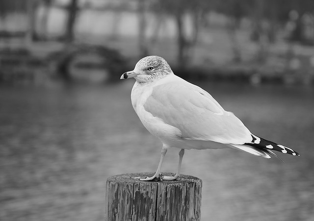 Seagull on a gray day!