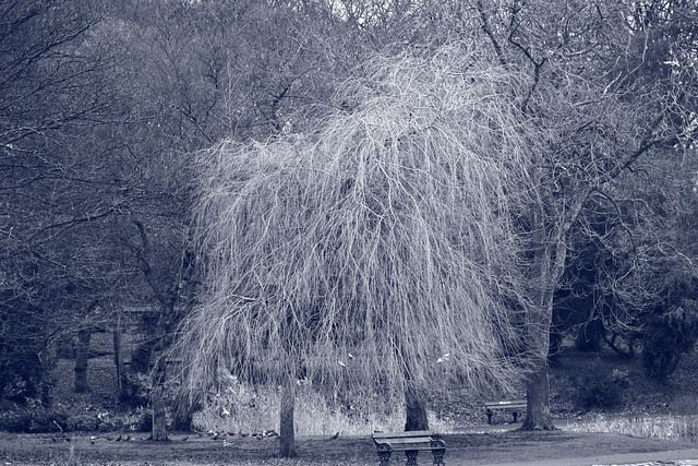 Weeping willow at Leazes Park  IMG_1642