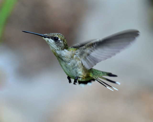 810_3553. Ruby-throated Hummingbird