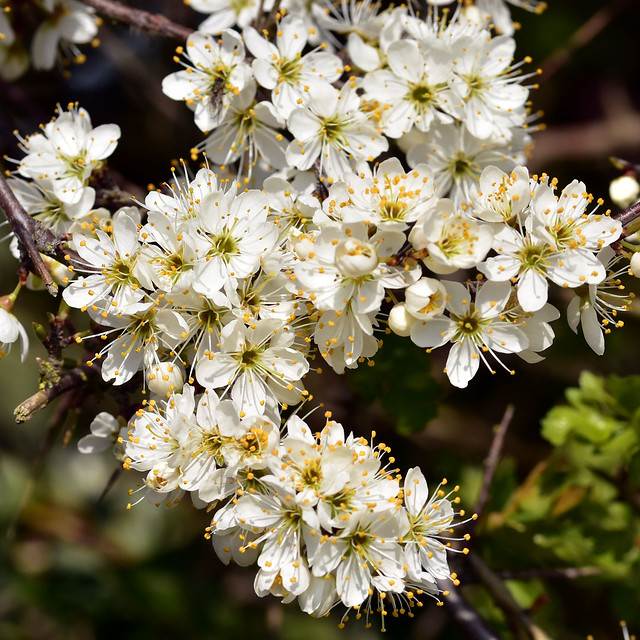 Blackthorn ... Prunus spinosa