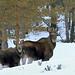 Elk (Alces alces alces)