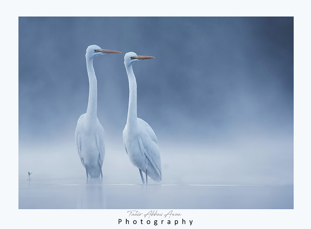 Great egrets in misty Morning