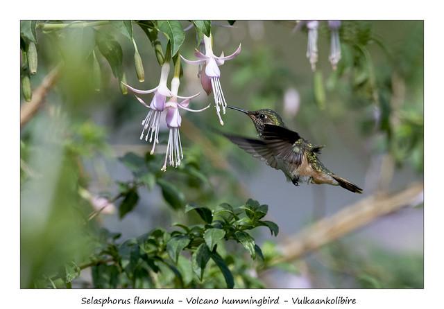 Volcano hummingbird #4
