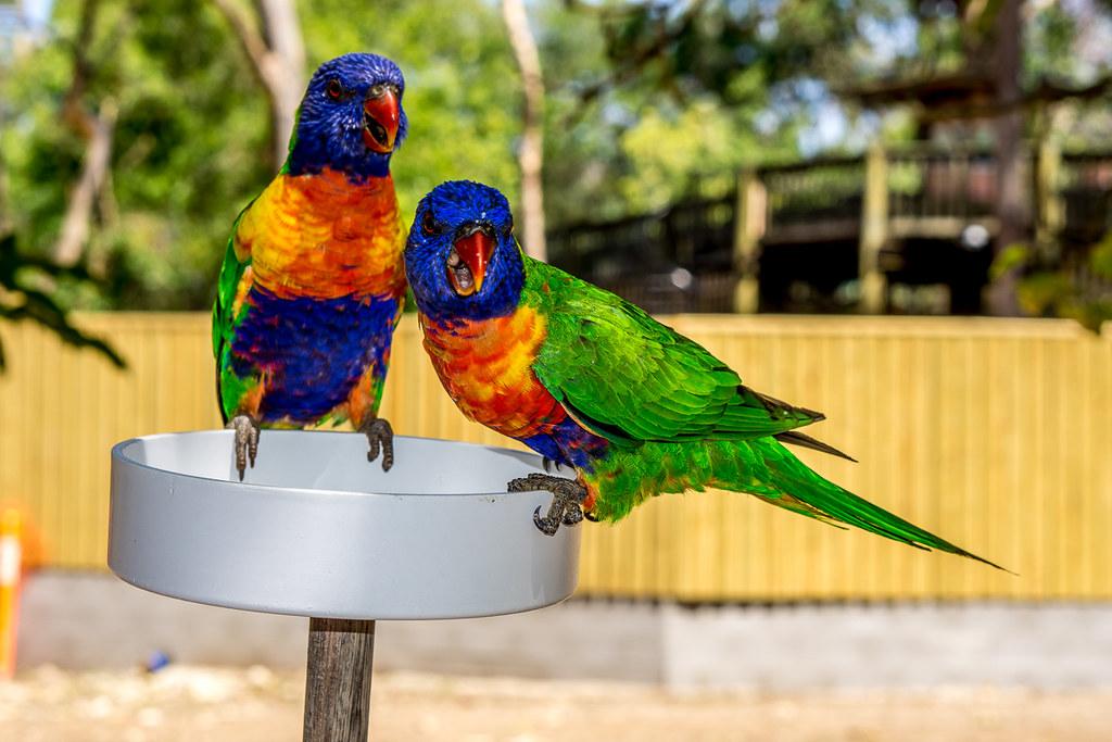 Rainbow Lorikeets 2