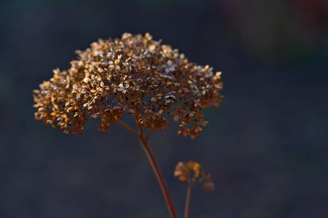 Hydrangea in Winter Sun
