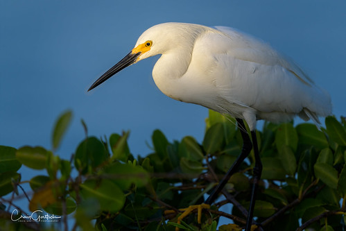 egret snowyegret bird avian nature wildlife animal nikon d850