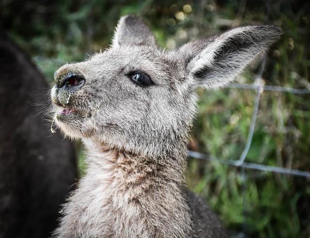 Young Kangaroo