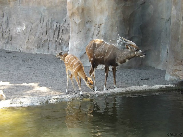 Sitatunga occidental
